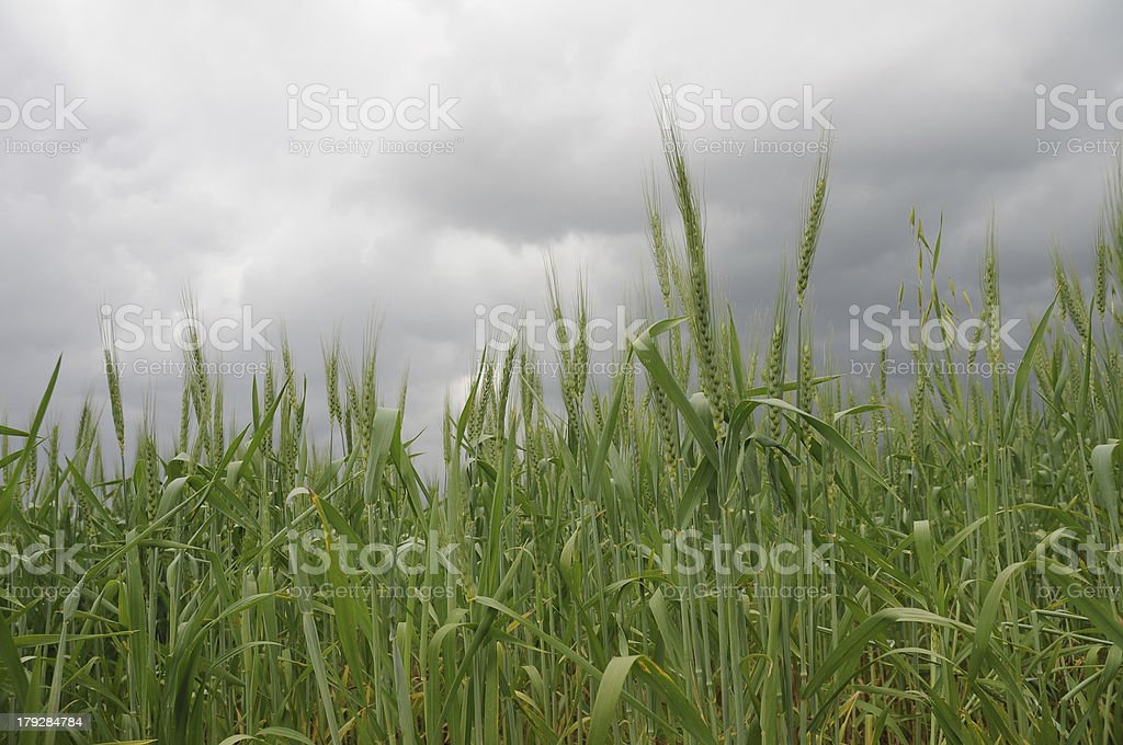 wheat field on stormy weather royalty-free stock photo
