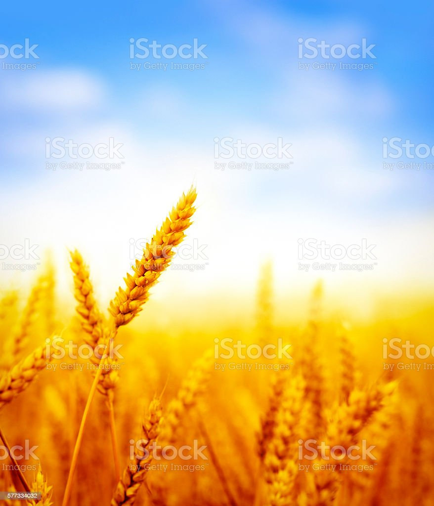 wheat field on sunny day stock photo