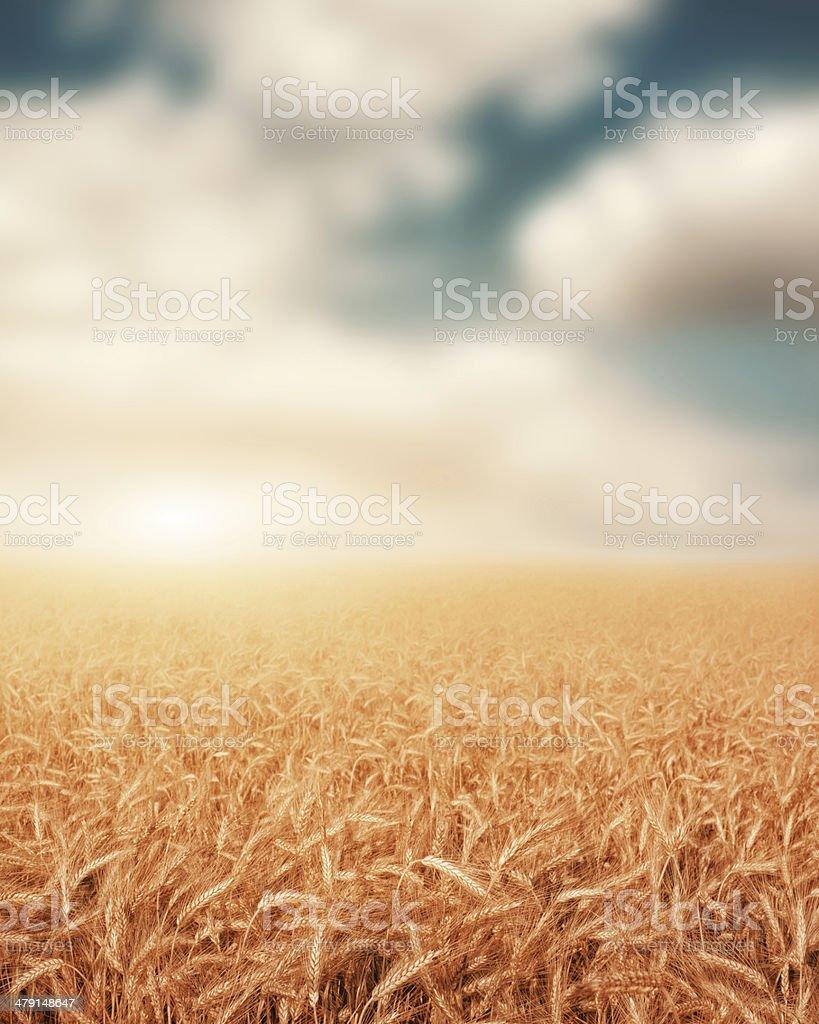 Champ de blé au coucher du soleil photo libre de droits