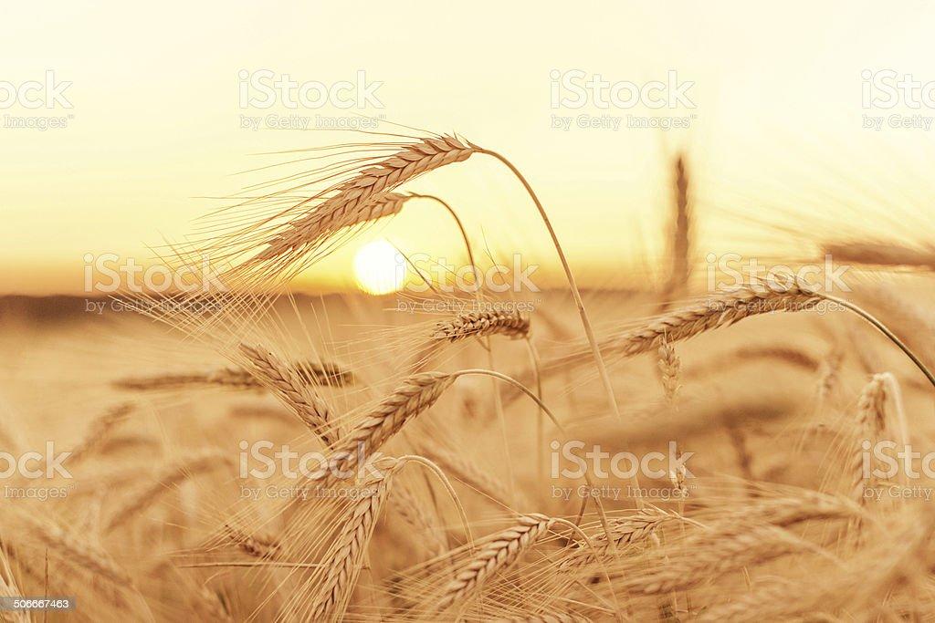 Wheat field on sunset stock photo
