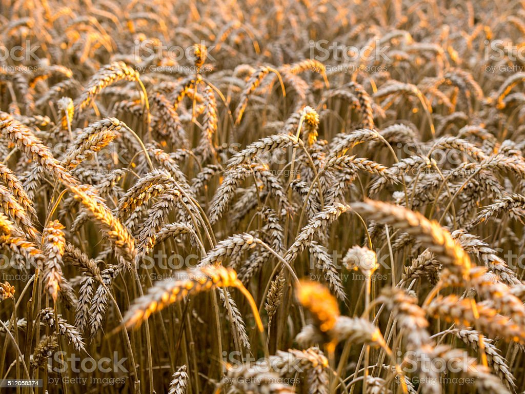 Wheat field on the sunset royalty-free stock photo