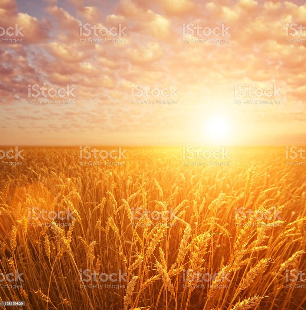Wheat field over cloudy sky royalty-free stock photo
