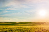 Wheat field over sky with sundown. Nature landscape.