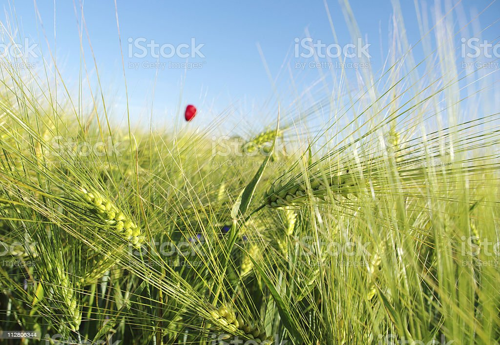 Wheat field. royalty-free stock photo