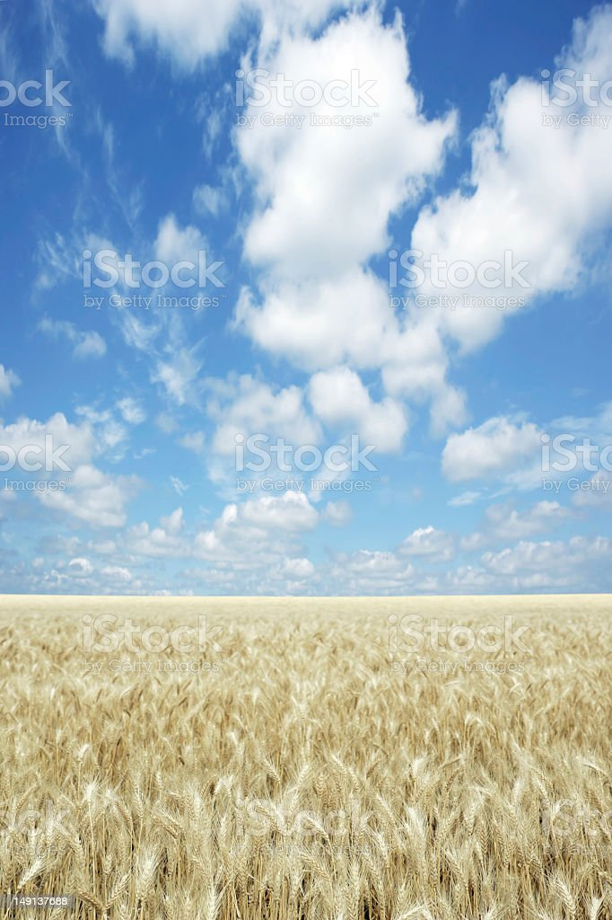 XXXL wheat field royalty-free stock photo