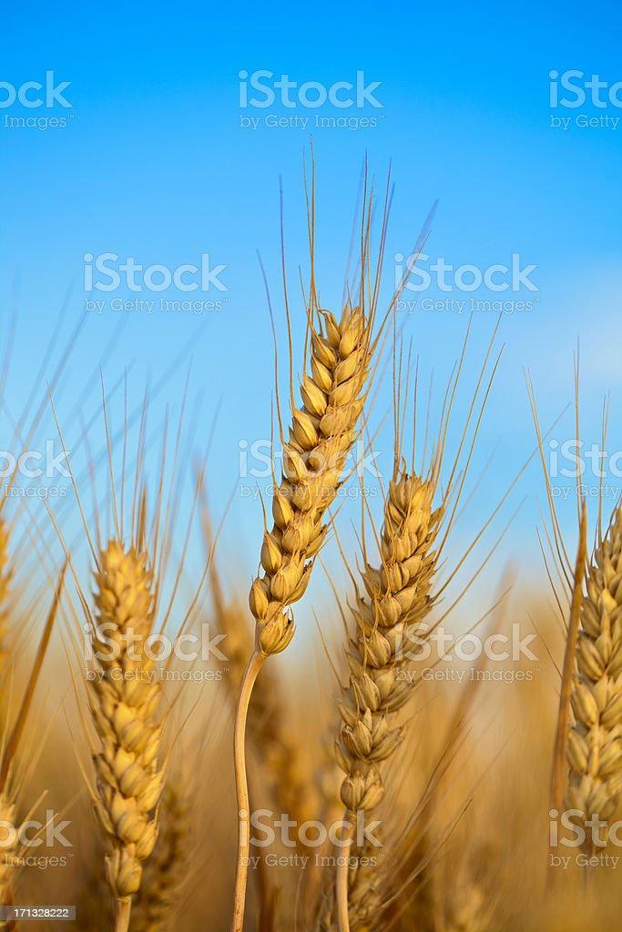 Wheat field stock photo