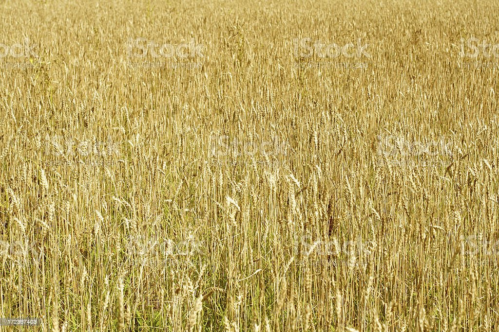 Wheat field. royalty-free stock photo