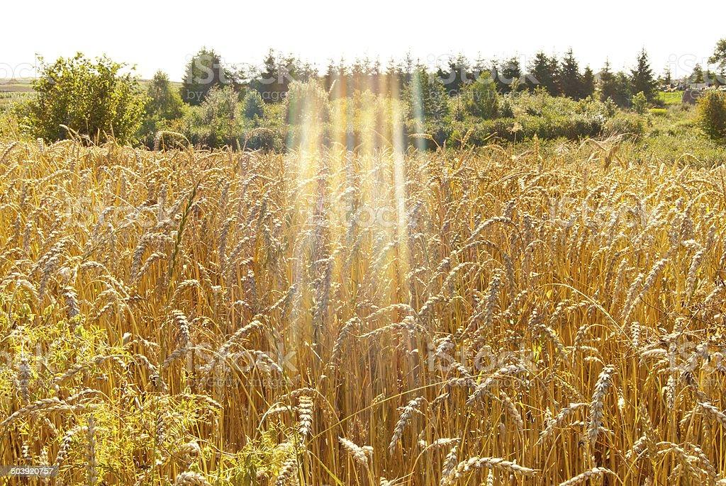 Campo de trigo foto de stock libre de derechos