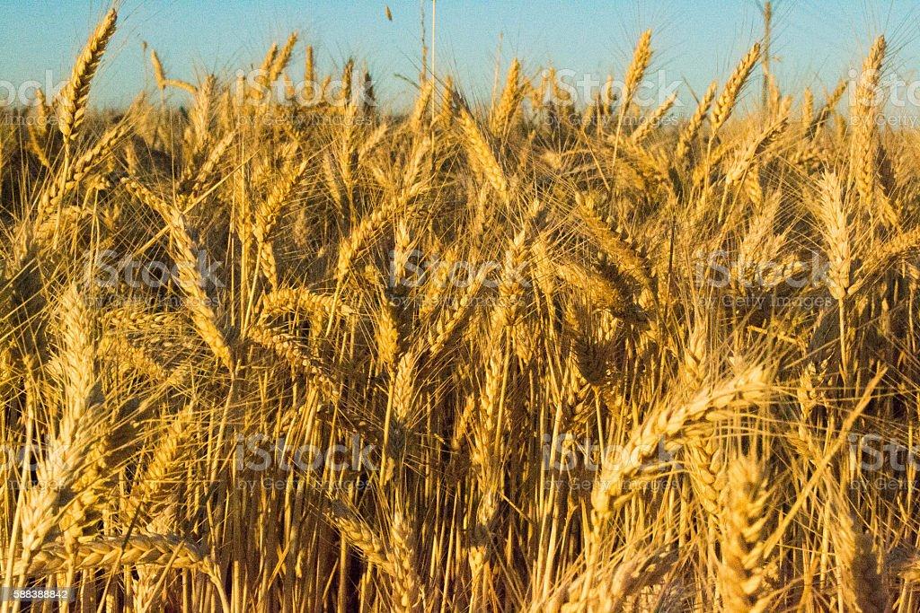 Campo de trigo stock photo