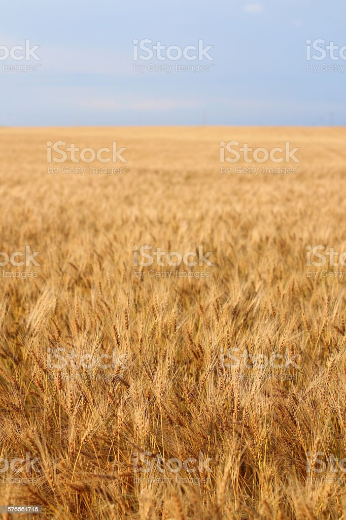 Wheat Field Ready for Harvest stock photo