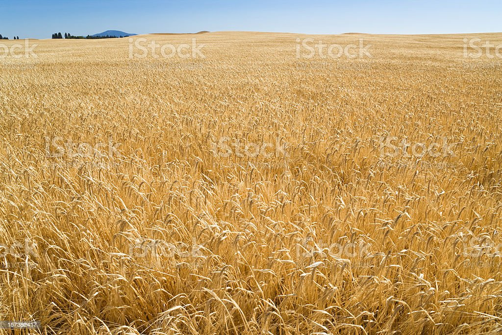 wheat field ripe for harvest in eastern Washington stock photo