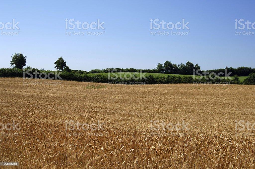 Wheat Field Series #1 stock photo