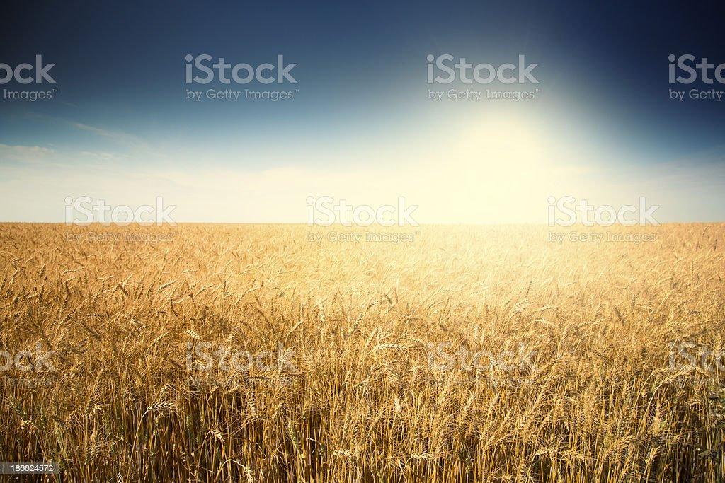 Wheat Field Sunrise royalty-free stock photo