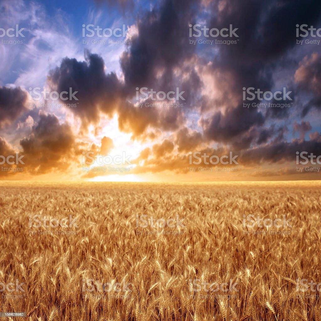 XXXL wheat field sunset royalty-free stock photo