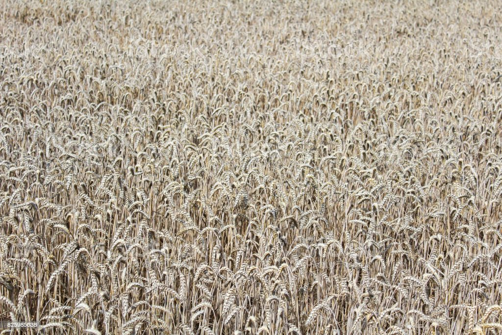Wheat field texture in ochre colors, agriculture stock photo