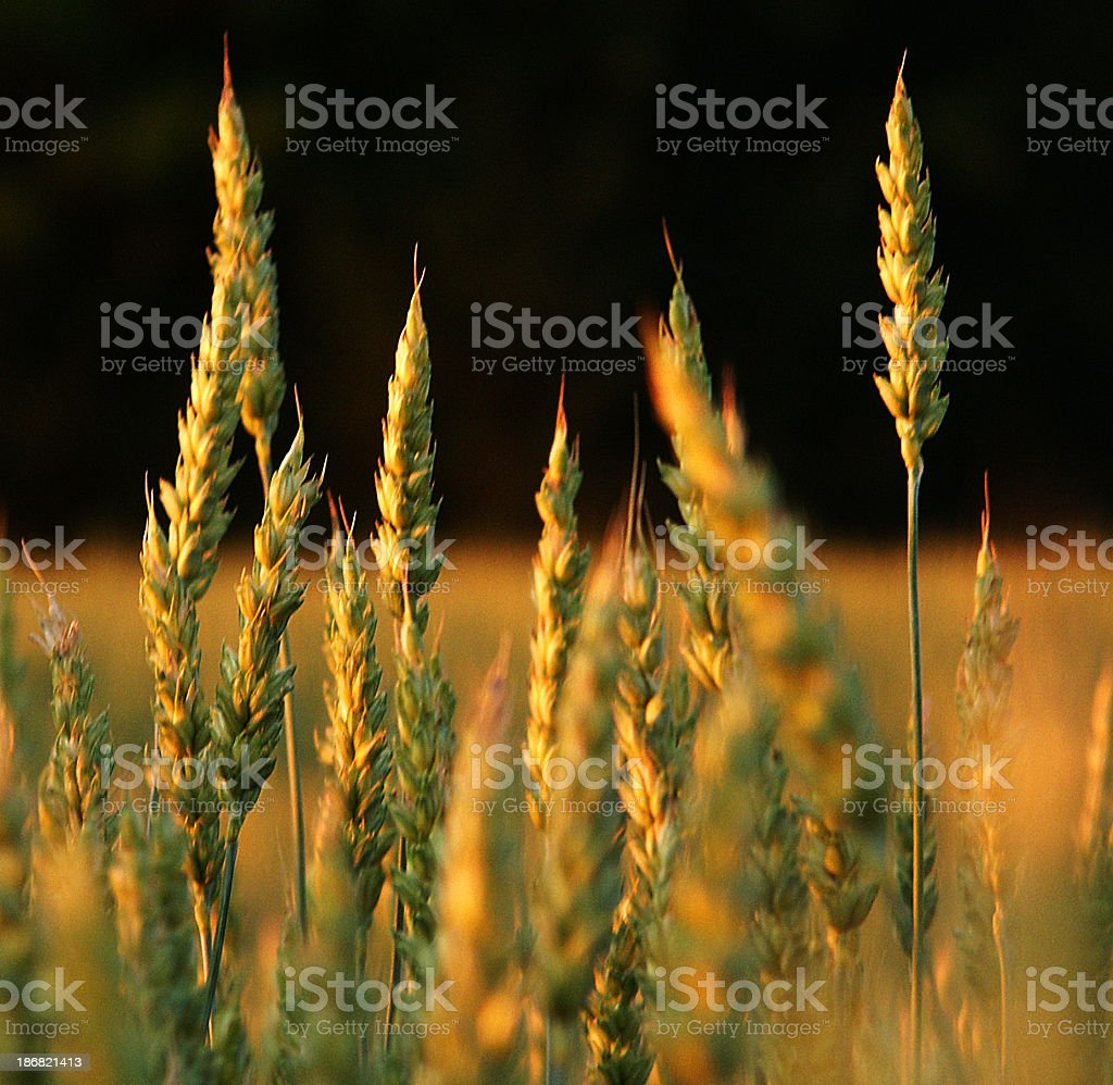 A wheat field towards the end of the day  stock photo