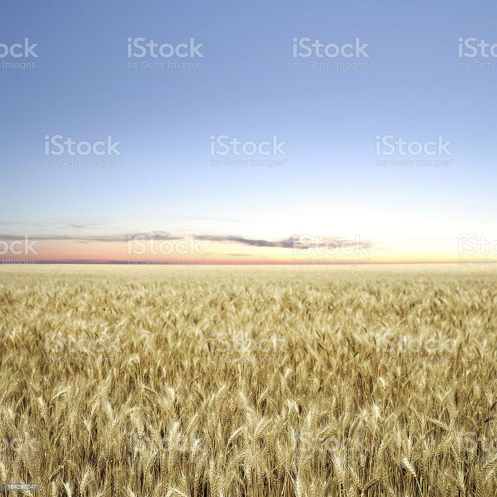 XXXL wheat field twilight stock photo