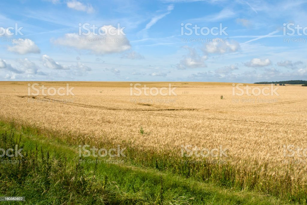 Wheat field under blue sky royalty-free stock photo