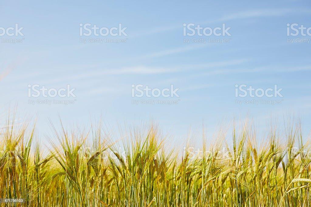 Wheat field under blue sky royalty-free stock photo