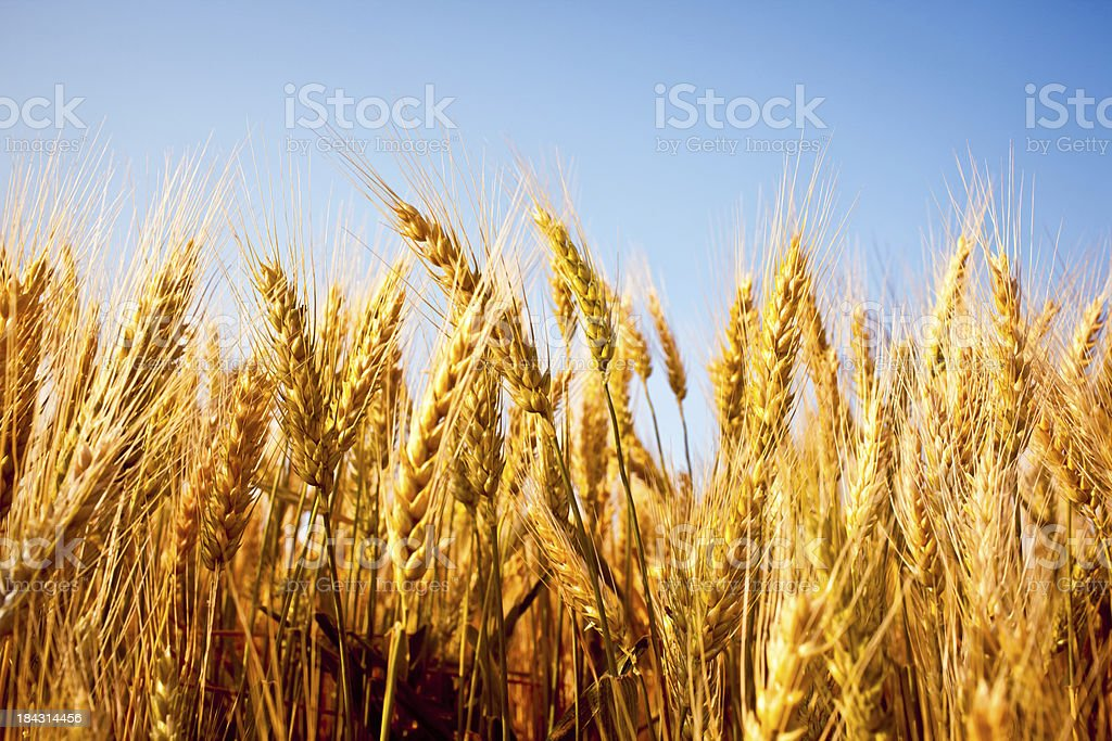 Wheat field under clear blue sky stock photo