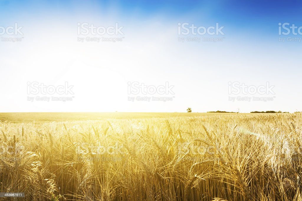 Wheat field under cloudscape stock photo