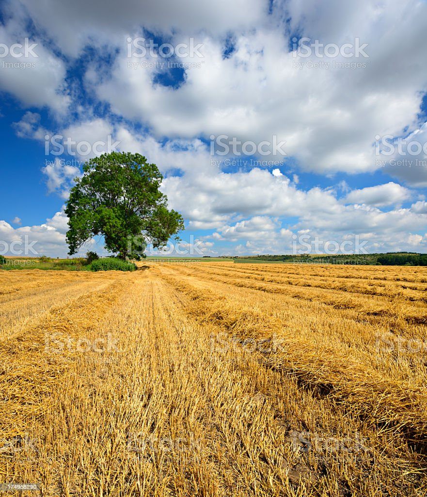 Wheat Field under Cloudy Sky After Harvest royalty-free stock photo