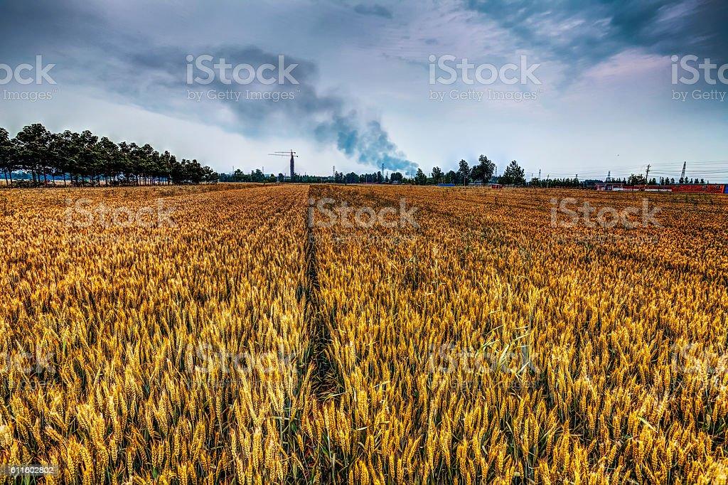 Wheat field under sky stock photo