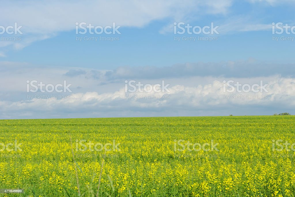 wheat field under the blue cloudy sky royalty-free stock photo
