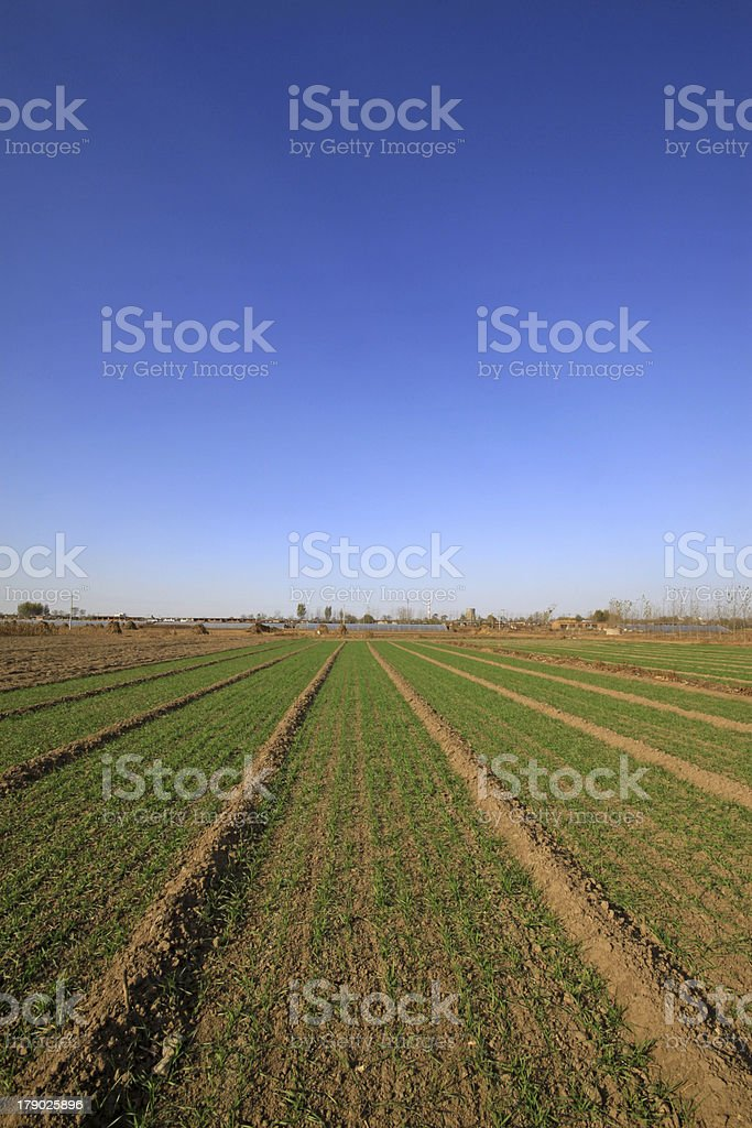 wheat field under the blue sky royalty-free stock photo