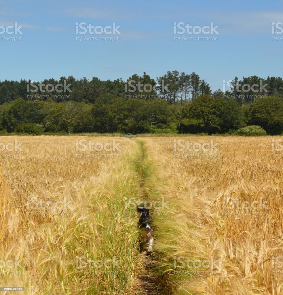 Wheat field walk stock photo