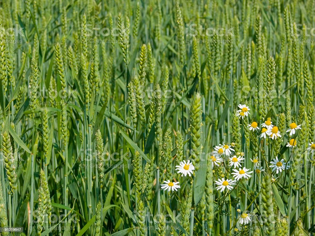 Wheat Field With Chamomile royalty-free stock photo