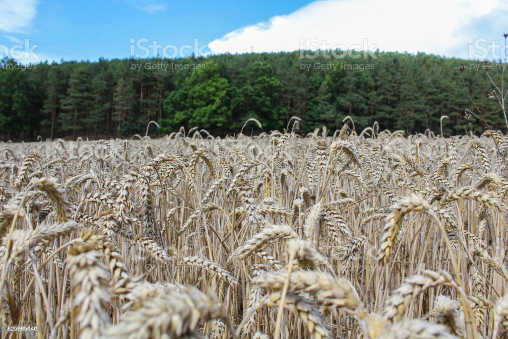 Wheat field with forest and blue sky stock photo