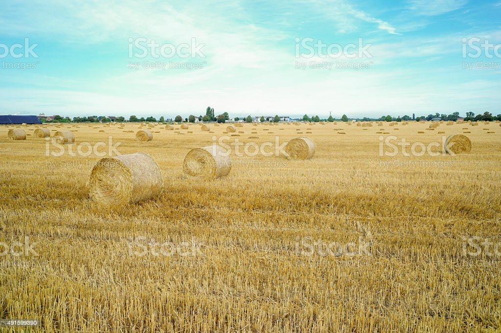 wheat field with hay rolles near ladenburg heidelberg germany stock photo