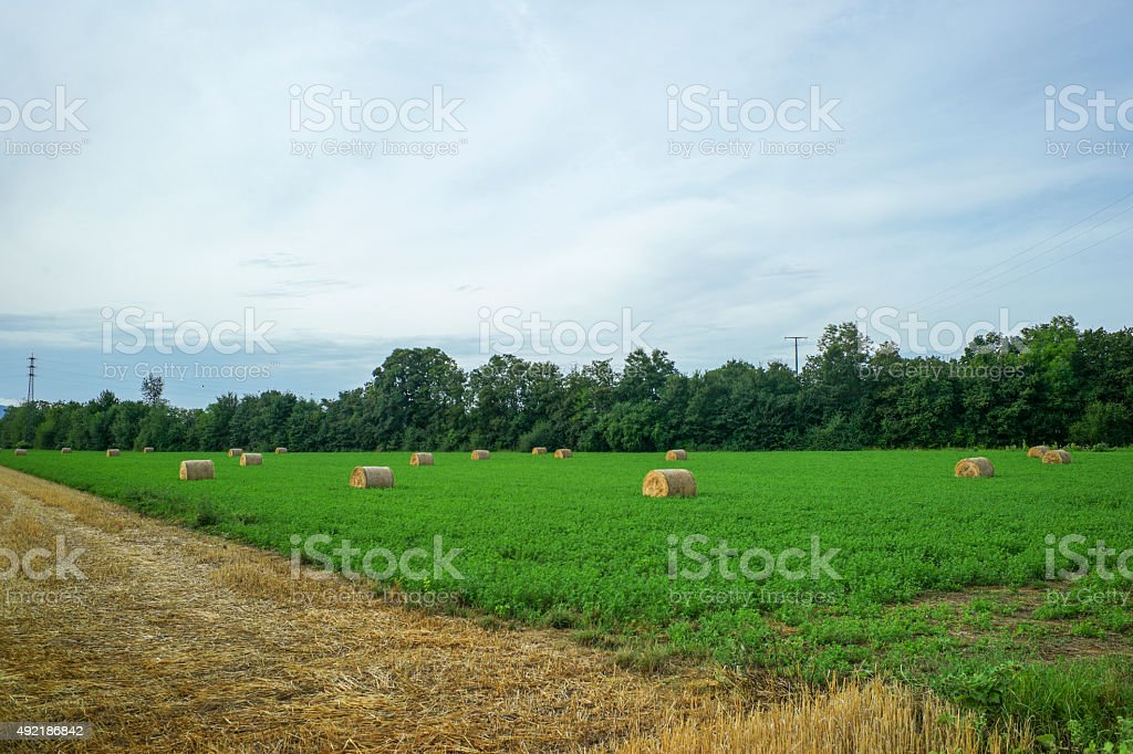 wheat field with hay rolles near worms germany stock photo
