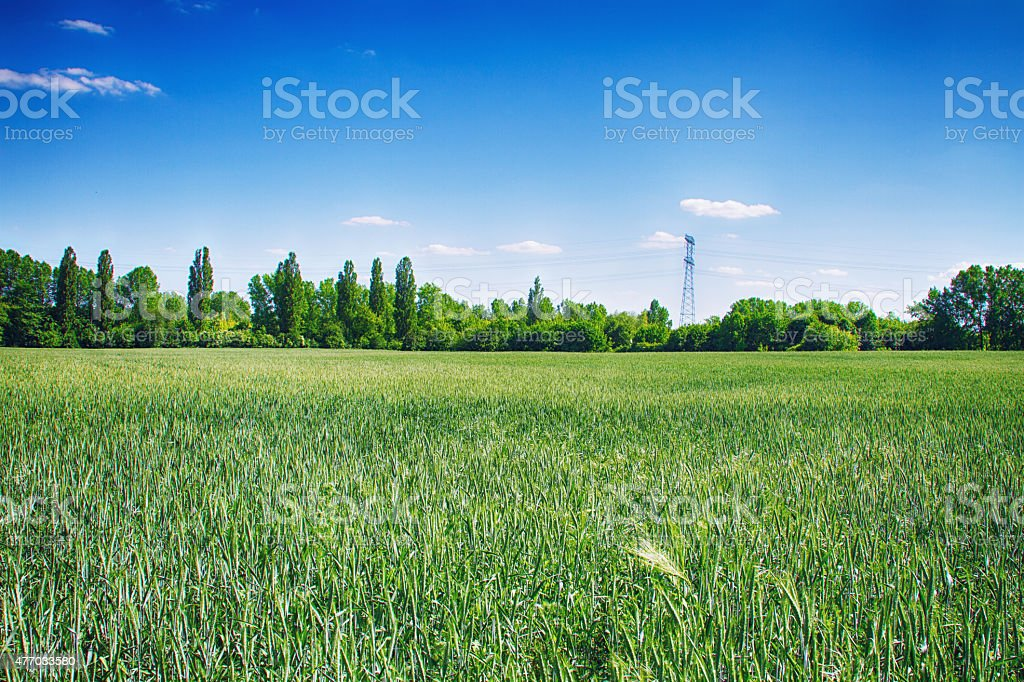 Wheat field with HDR stock photo