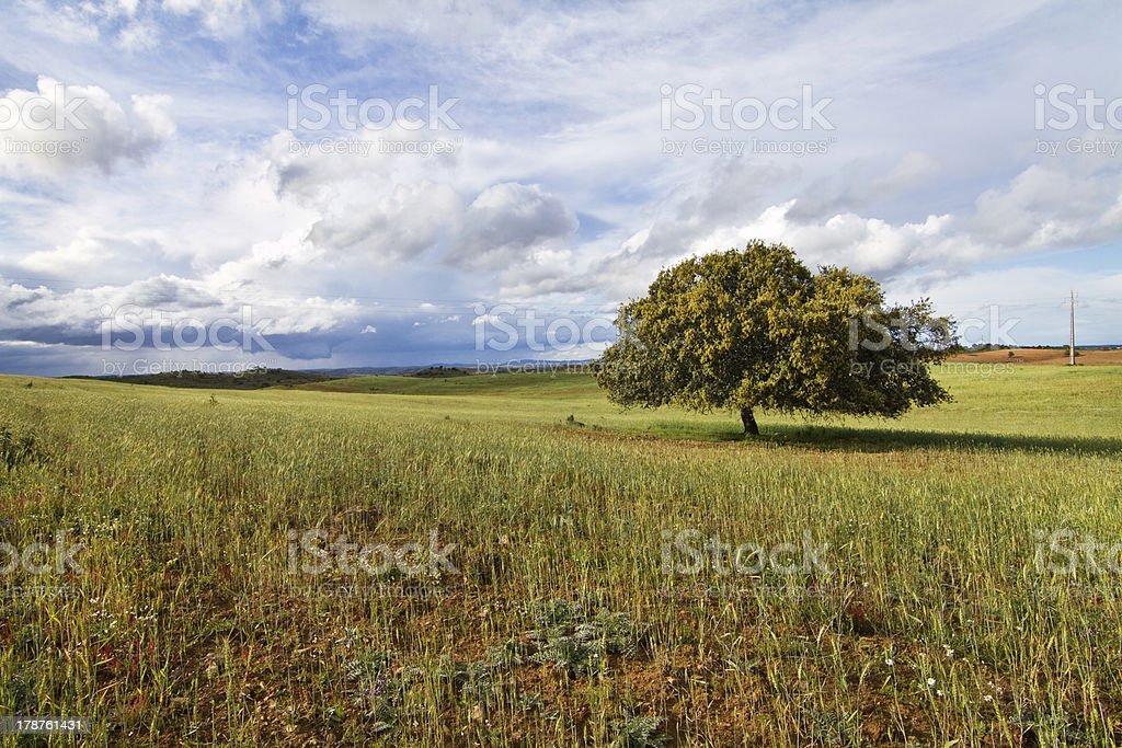 Wheat field with lonely tree royalty-free stock photo