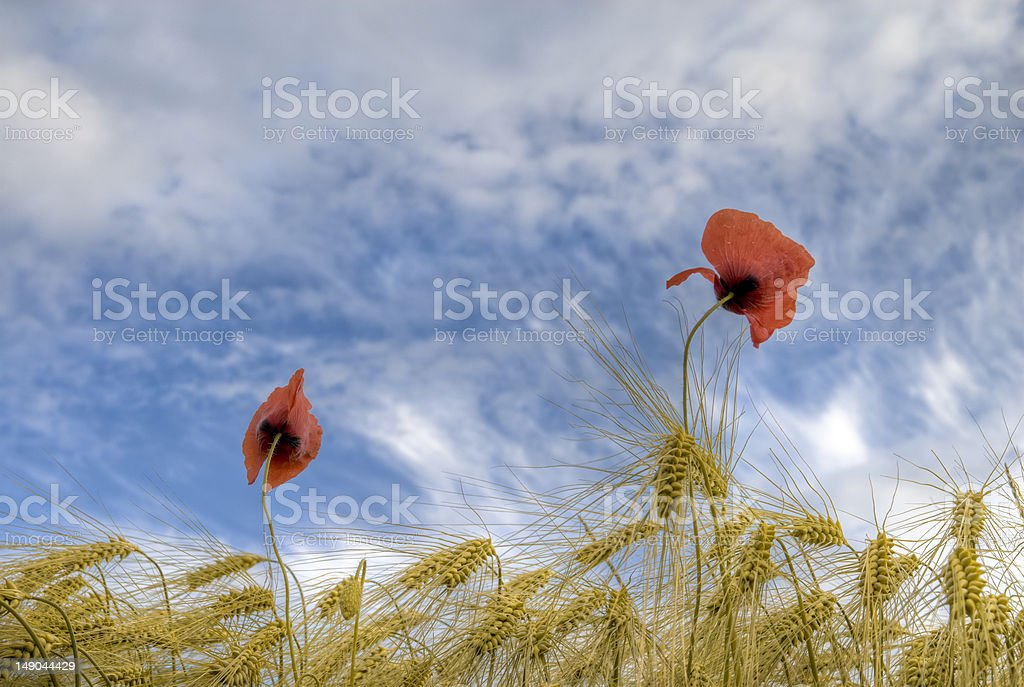 wheat field with poppies royalty-free stock photo