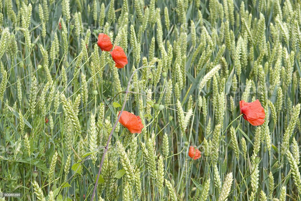 Wheat Field (Triticum aestivum) with Poppies royalty-free stock photo