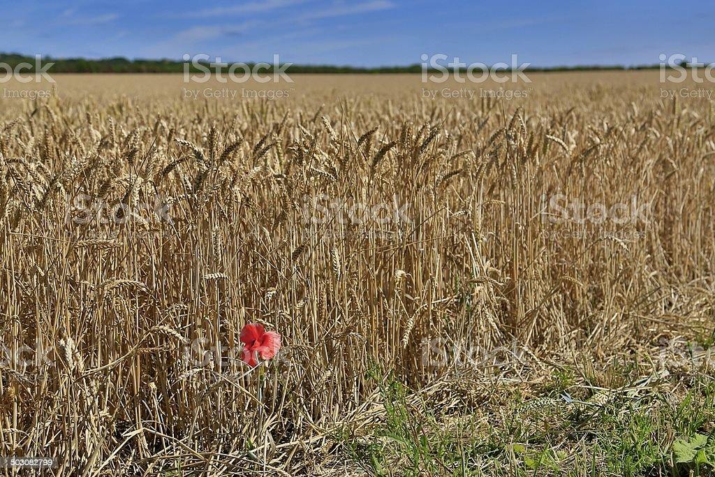 Campo di grano con fiore di papavero rosso foto stock royalty-free