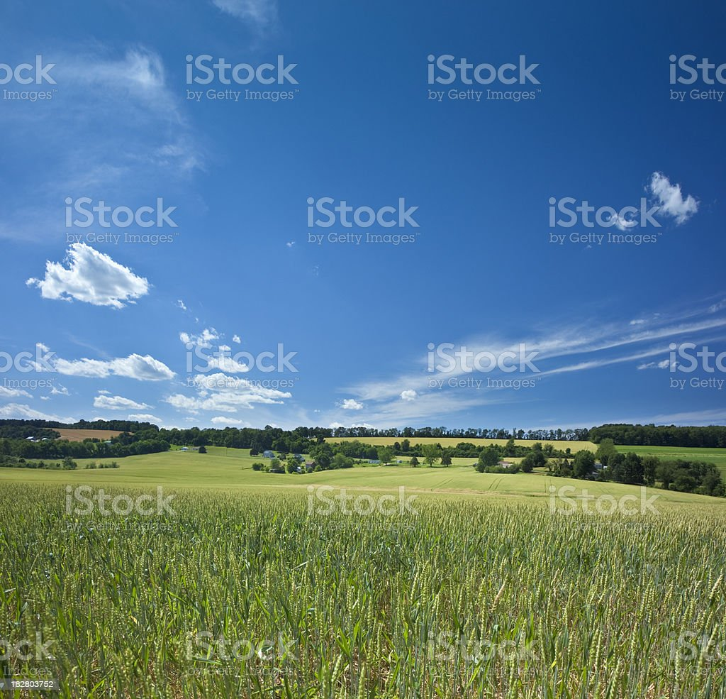 Wheat Fields and Gently Rolling Hills Under Brilliant Blue Sky stock photo