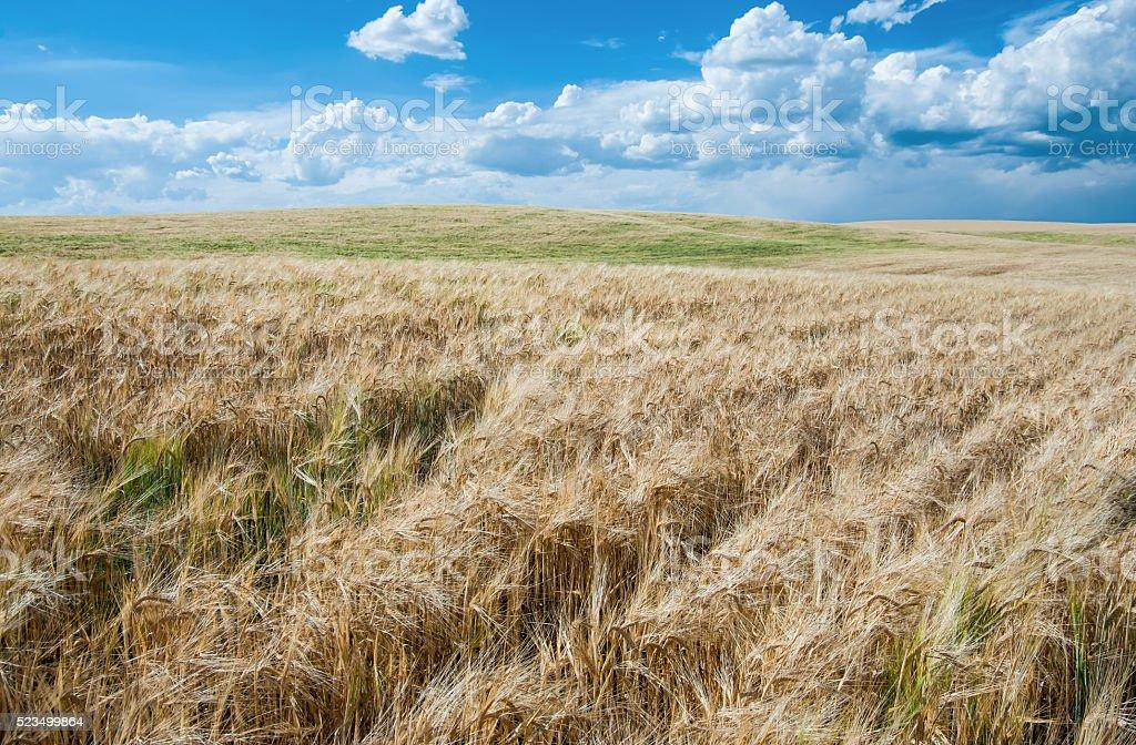 Wheat Fields in August stock photo