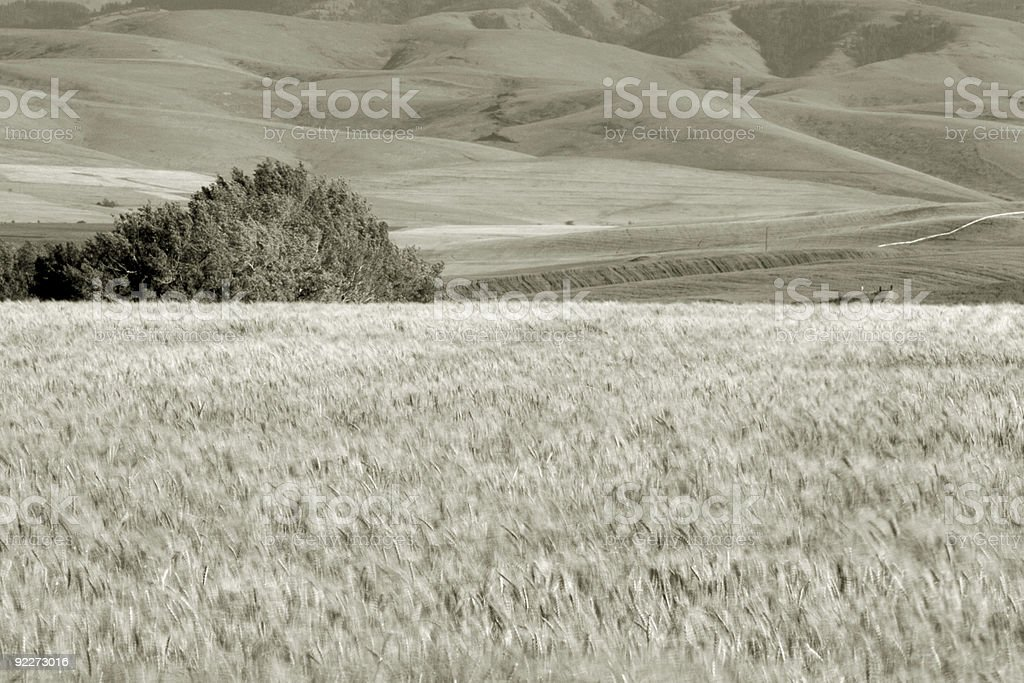 Wheat Fields, near Pendleton 4 stock photo