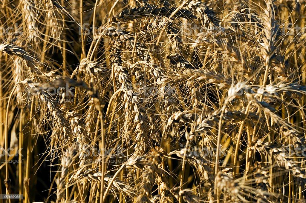 Wheat Fields #2 royalty-free stock photo