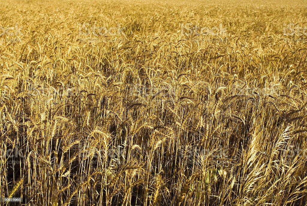 Wheat Fields #6 royalty-free stock photo