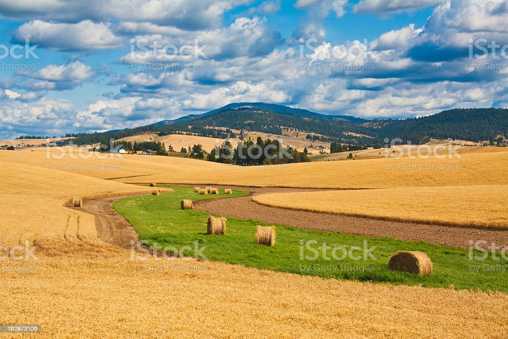 Wheat Fields With Rolls Of Hay At Harvest stock photo