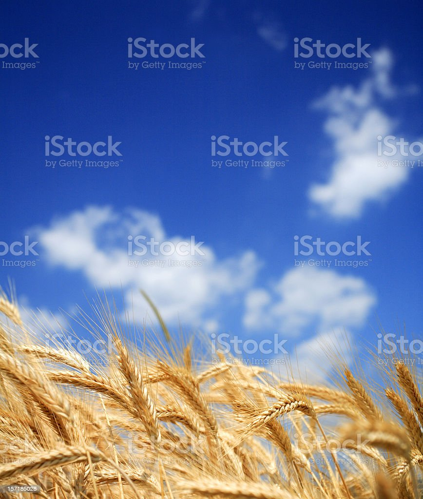 Wheat filed in the summer royalty-free stock photo