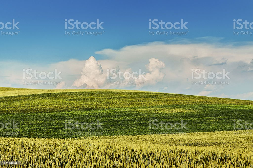 Wheat Filed in Three Colors Under Blue Sky royalty-free stock photo