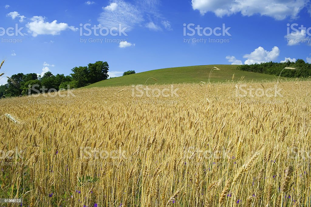 Wheat fileld in summer royalty-free stock photo