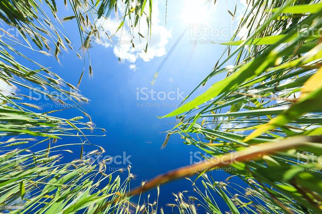 Wheat frame royalty-free stock photo