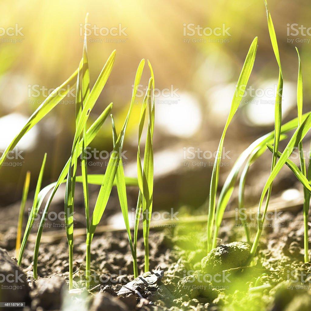 Wheat germination closeup stock photo